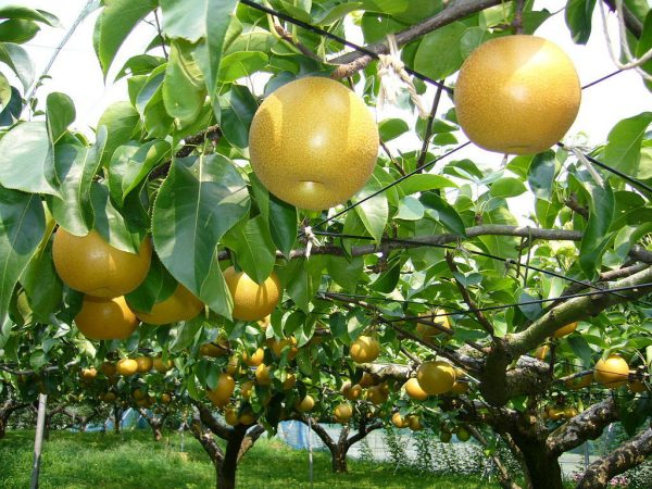 Pear trees bear juicy income for Dakshinkali farmers