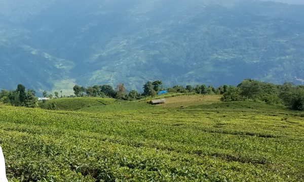 Favorable weather helps improve tea production