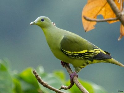 'Green pigeon' spotted in Jhapa