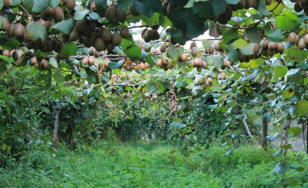 Attraction towards commercial farming of kiwifruit