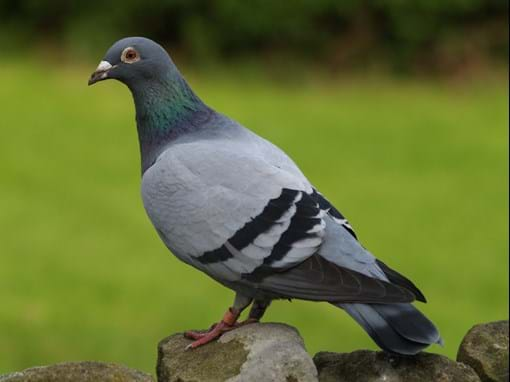 Australia to kill a pigeon for crossing the Pacific
