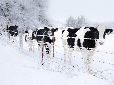 Calves' ears falling off due to extreme winter in USA